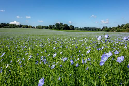 Gemeiner Lein, auch Saat-Lein oder Flachs genannt, ist eine alte Kulturpflanze, die zur Faser- und zur Ölgewinnung angebaut wird